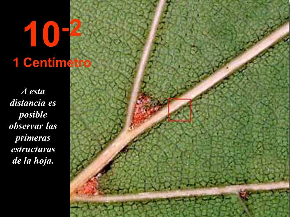 Acercándonos a 10 cm. podemos delinear una hoja de la rama. 10 -1 10 Centímetros