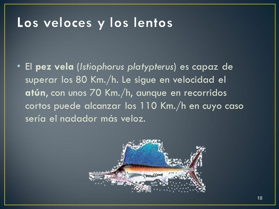 E l pez vela (Istiophorus platypterus) es capaz de superar los 80 Km./h. Le sigue en velocidad el atún, con unos 70 Km./h, aunque en recorridos cortos