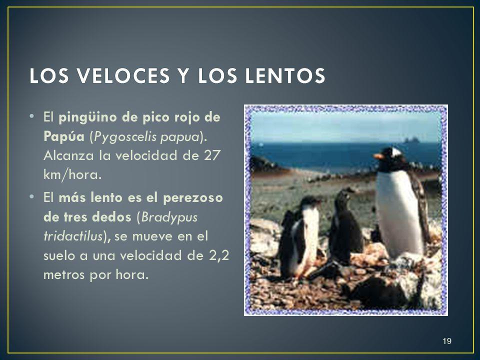 E l pingüino de pico rojo de Papúa (Pygoscelis papua). Alcanza la velocidad de 27 km/hora. E l más lento es el perezoso de tres dedos (Bradypus tridac