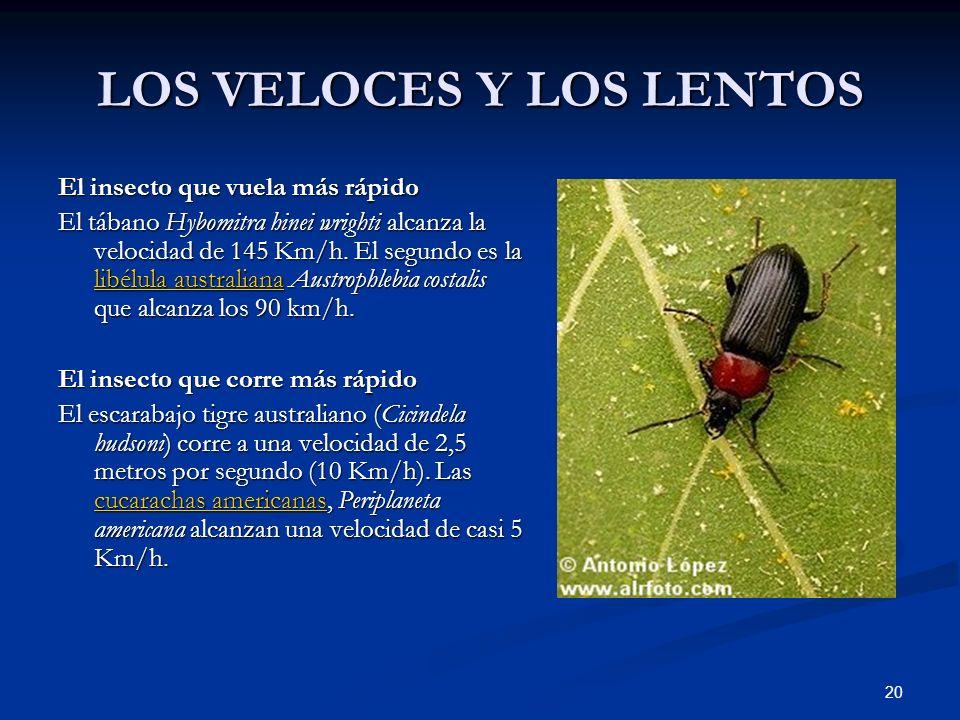 20 LOS VELOCES Y LOS LENTOS El insecto que vuela más rápido El tábano Hybomitra hinei wrighti alcanza la velocidad de 145 Km/h. El segundo es la libél
