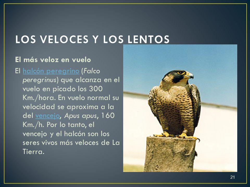 El más veloz en vuelo El halcón peregrino (Falco peregrinus) que alcanza en el vuelo en picado los 300 Km./hora. En vuelo normal su velocidad se aprox