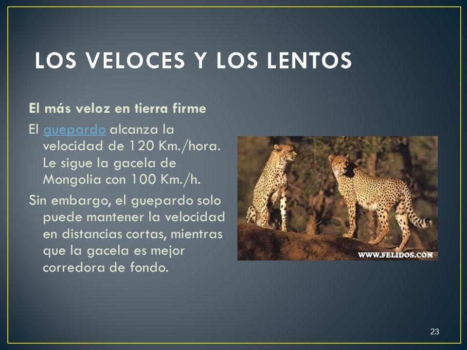 El más veloz en tierra firme El guepardo alcanza la velocidad de 120 Km./hora. Le sigue la gacela de Mongolia con 100 Km./h.guepardo Sin embargo, el g