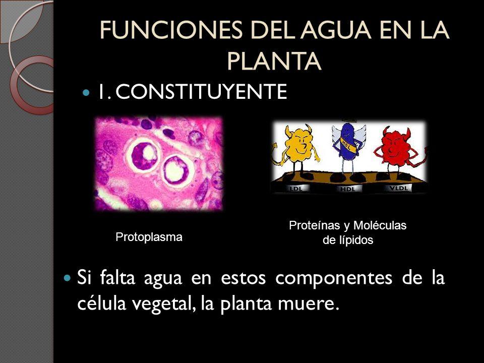 FUNCIONES DEL AGUA EN LA PLANTA 1. CONSTITUYENTE Protoplasma Proteínas y Moléculas de lípidos Si falta agua en estos componentes de la célula vegetal,