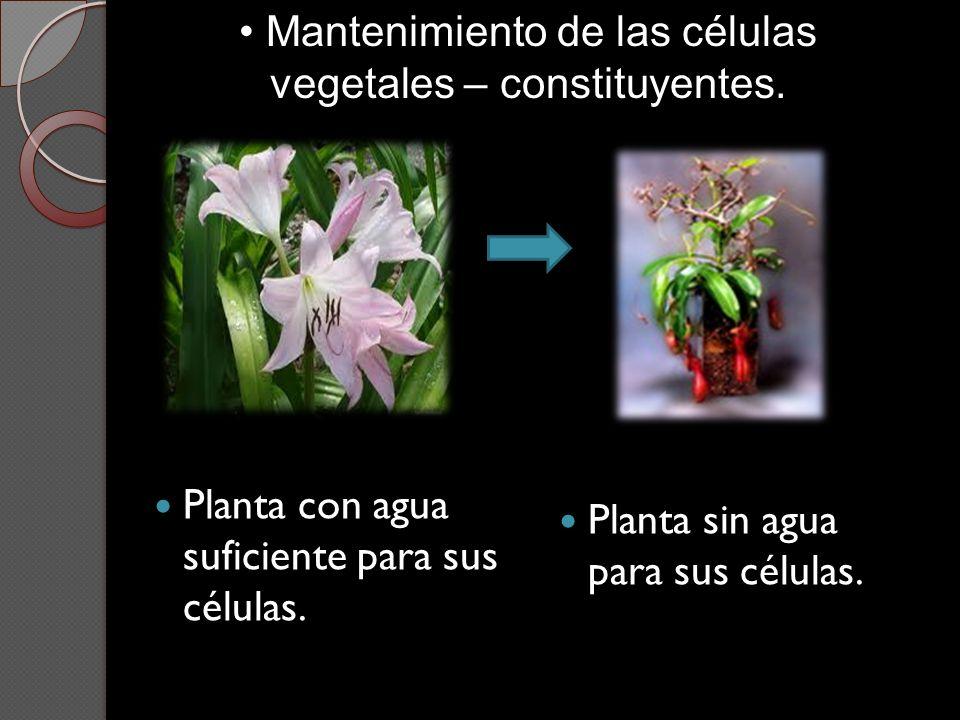 Planta con agua suficiente para sus células. Planta sin agua para sus células. Mantenimiento de las células vegetales – constituyentes.