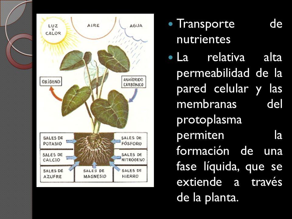 Transporte de nutrientes La relativa alta permeabilidad de la pared celular y las membranas del protoplasma permiten la formación de una fase líquida,