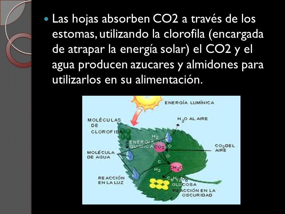 Las hojas absorben CO2 a través de los estomas, utilizando la clorofila (encargada de atrapar la energía solar) el CO2 y el agua producen azucares y a