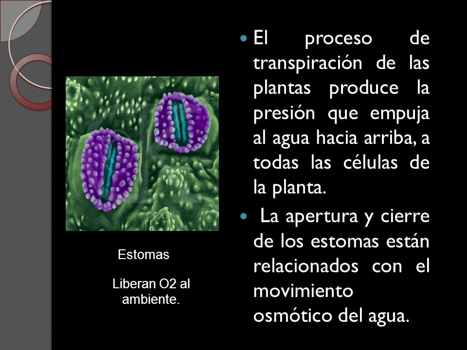 El proceso de transpiración de las plantas produce la presión que empuja al agua hacia arriba, a todas las células de la planta. La apertura y cierre