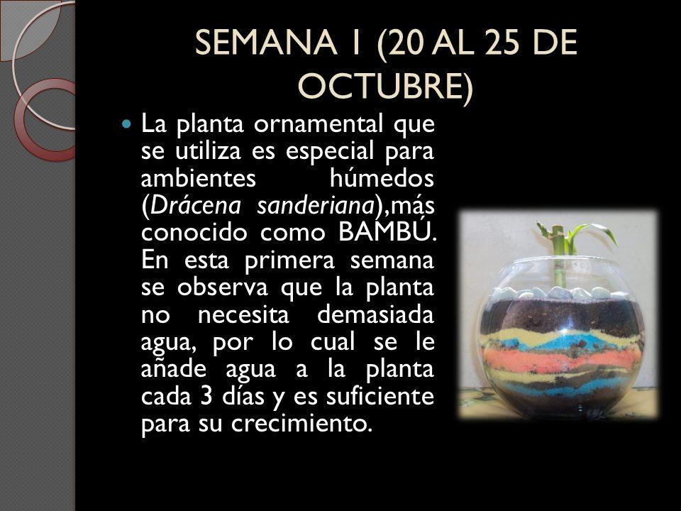 SEMANA 1 (20 AL 25 DE OCTUBRE) La planta ornamental que se utiliza es especial para ambientes húmedos (Drácena sanderiana),más conocido como BAMBÚ. En