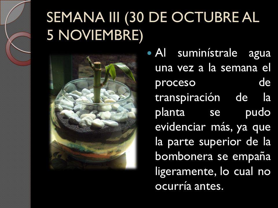 SEMANA III (30 DE OCTUBRE AL 5 NOVIEMBRE) Al suminístrale agua una vez a la semana el proceso de transpiración de la planta se pudo evidenciar más, ya