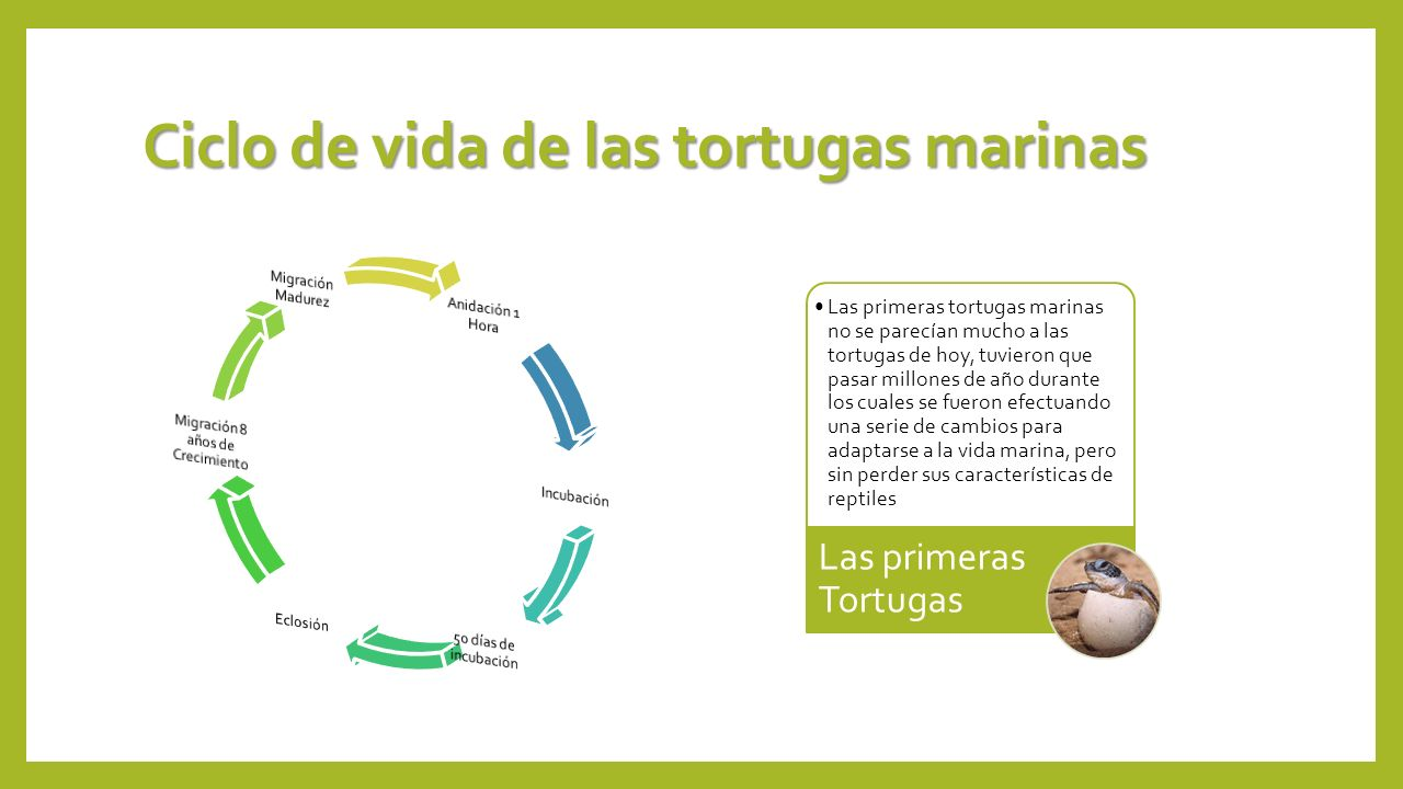 Ciclo de vida de las tortugas marinas Las primeras tortugas marinas no se parecían mucho a las tortugas de hoy, tuvieron que pasar millones de año dur