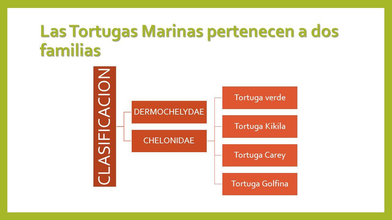 Las Tortugas Marinas pertenecen a dos familias CLASIFICACION DERMOCHELYDAE CHELONIDAE Tortuga verde Tortuga Kikila Tortuga Carey Tortuga Golfina