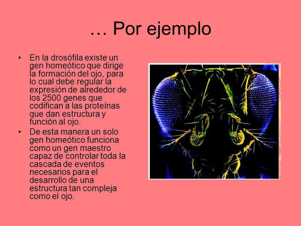 … Por ejemplo En la drosófila existe un gen homeótico que dirige la formación del ojo, para lo cual debe regular la expresión de alrededor de los 2500
