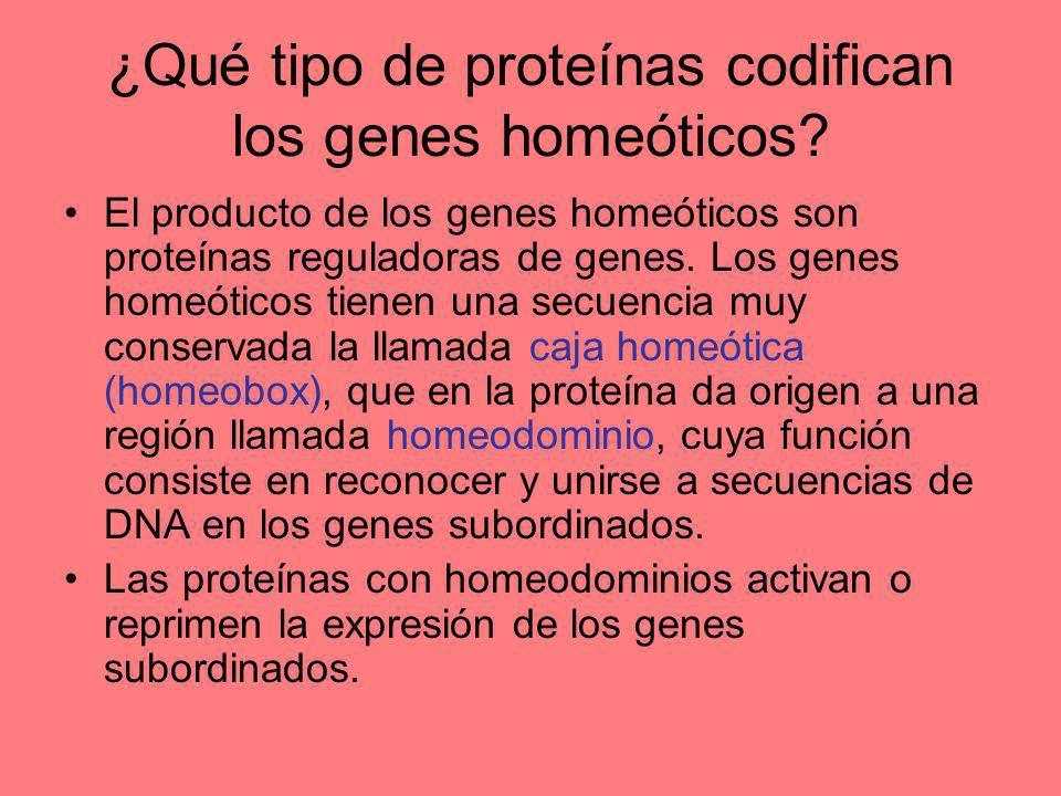 ¿Qué tipo de proteínas codifican los genes homeóticos? El producto de los genes homeóticos son proteínas reguladoras de genes. Los genes homeóticos ti