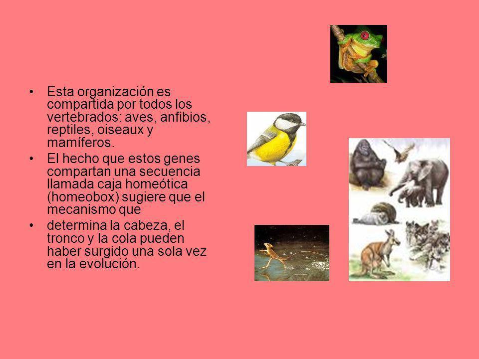 Esta organización es compartida por todos los vertebrados: aves, anfibios, reptiles, oiseaux y mamíferos. El hecho que estos genes compartan una secue