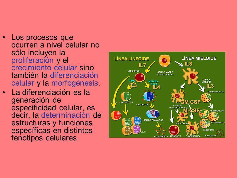Los procesos que ocurren a nivel celular no sólo incluyen la proliferación y el crecimiento celular sino también la diferenciación celular y la morfog