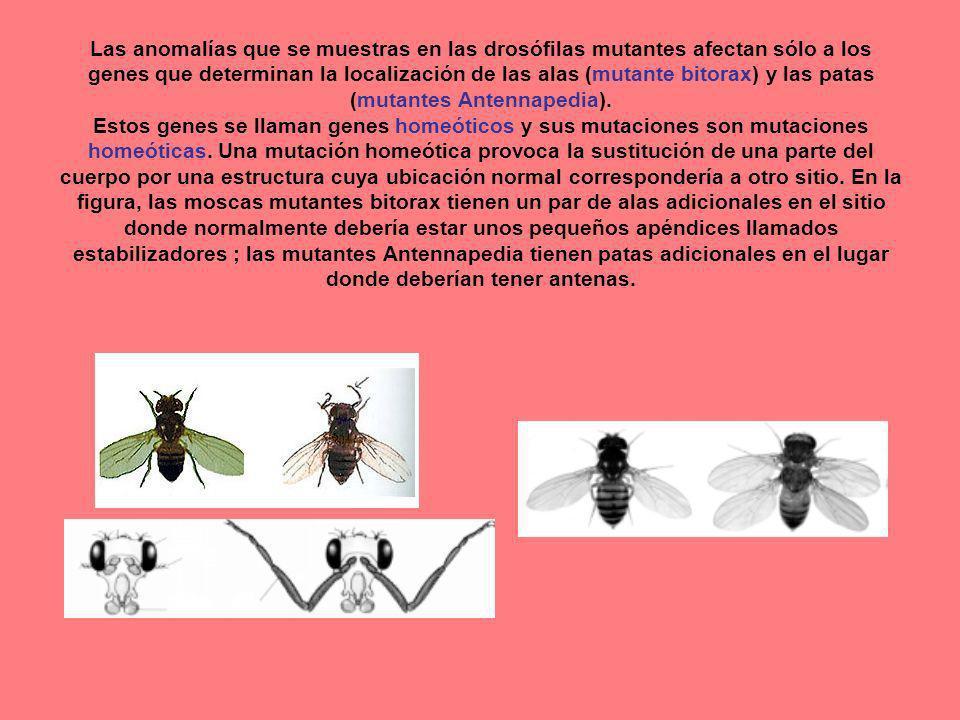 Las anomalías que se muestras en las drosófilas mutantes afectan sólo a los genes que determinan la localización de las alas (mutante bitorax) y las p