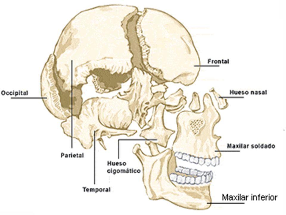 Huesos del Tronco La clavícula y el omóplato, que sirven para el apoyo de las extremidades superiores.