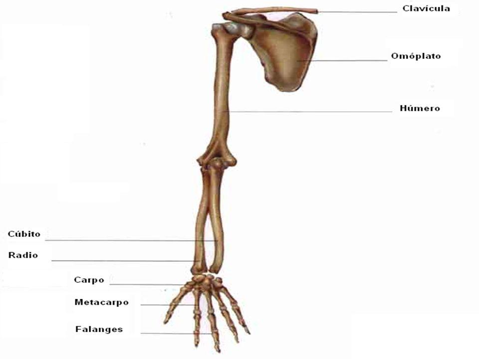Huesos de las extremidades inferiores La pelvis y el fémur formando la articulación de la cadera.