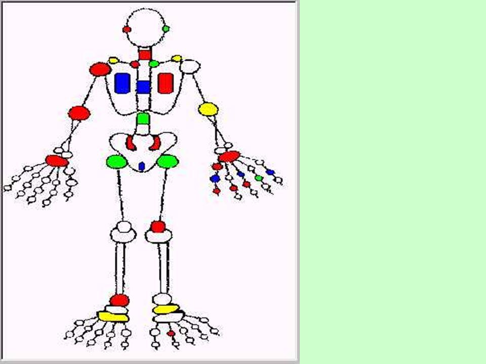 Una articulación es la unión de dos huesos Hay tres tipos de articulaciones: Las articulaciones fijas, que no permiten realizar movimientos a los huesos que las forman (huesos del cráneo).