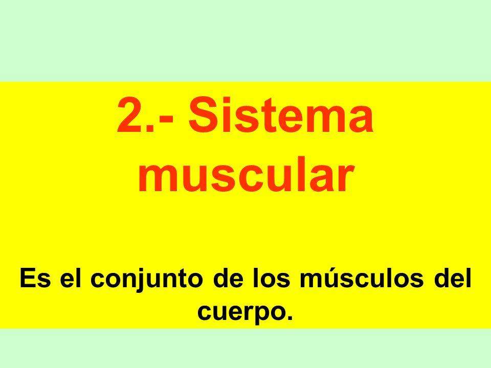 2.- Sistema muscular Es el conjunto de los músculos del cuerpo.