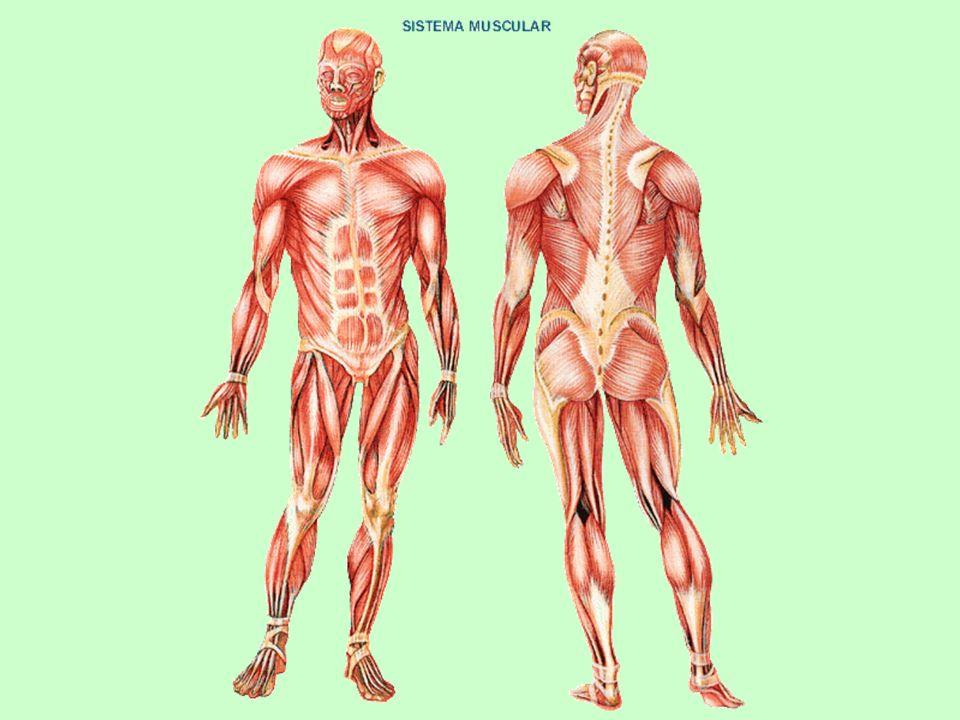 El músculo es un tejido u órgano del cuerpo que puede contraerse, cuando recibe una orden adecuada.
