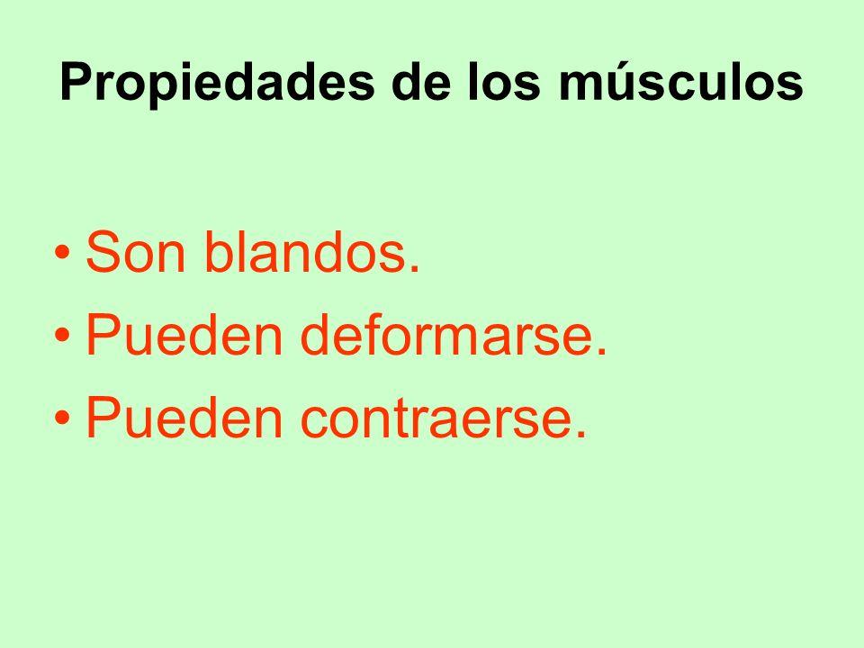 Propiedades de los músculos Son blandos. Pueden deformarse. Pueden contraerse.