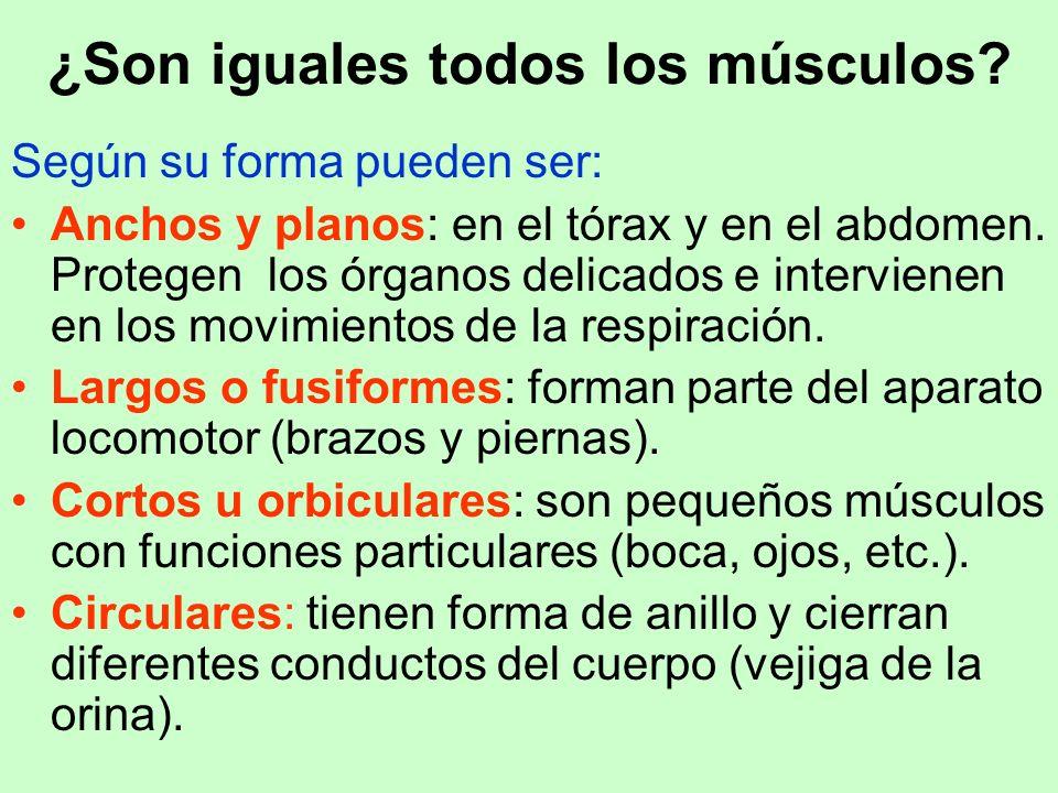 ¿Son iguales todos los músculos? Según su forma pueden ser: Anchos y planos: en el tórax y en el abdomen. Protegen los órganos delicados e intervienen