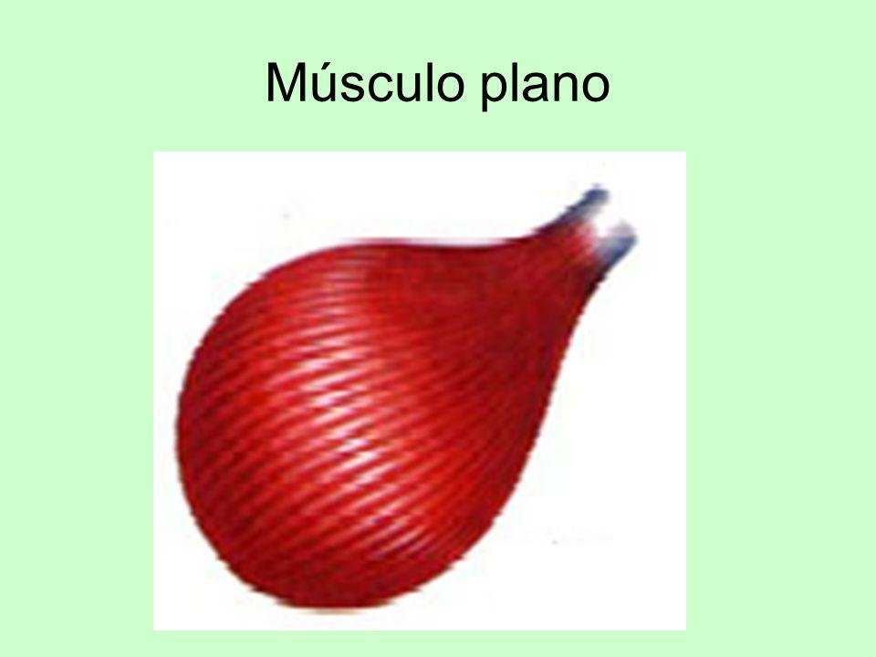 Los músculos los encontramos En la cabeza En el cuello En el tronco En Las extremidades –Inferiores –Superiores