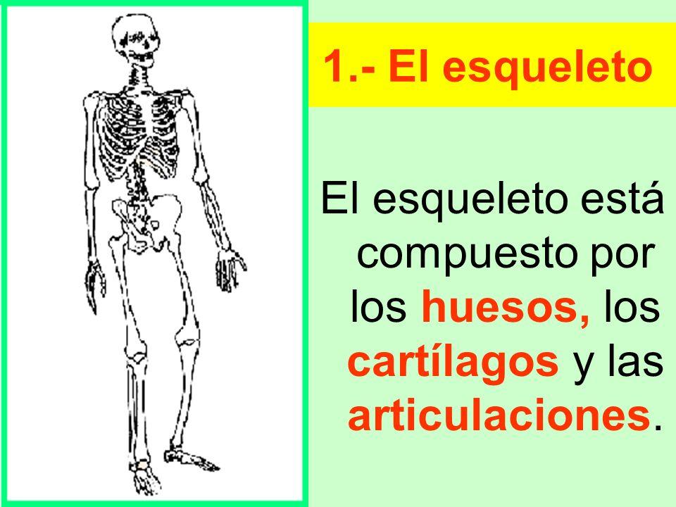 Las funciones del esqueleto son: Sostener y dar forma al cuerpo.