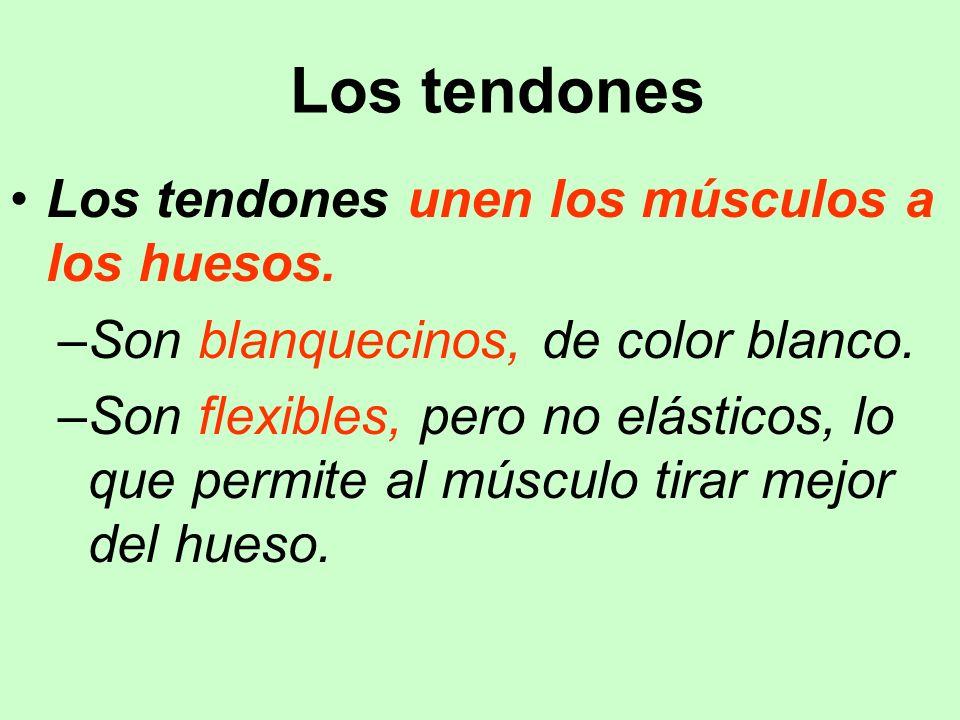 Los tendones Los tendones unen los músculos a los huesos. –Son blanquecinos, de color blanco. –Son flexibles, pero no elásticos, lo que permite al mús