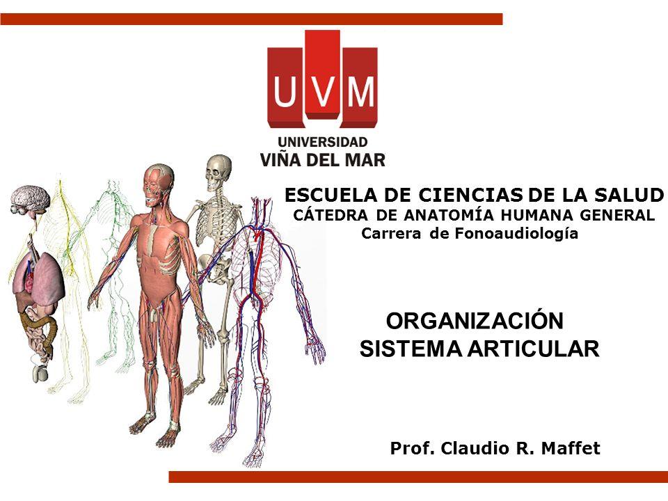 ORGANIZACIÓN SISTEMA ARTICULAR Prof. Claudio R. Maffet ESCUELA DE CIENCIAS DE LA SALUD CÁTEDRA DE ANATOMÍA HUMANA GENERAL Carrera de Fonoaudiología