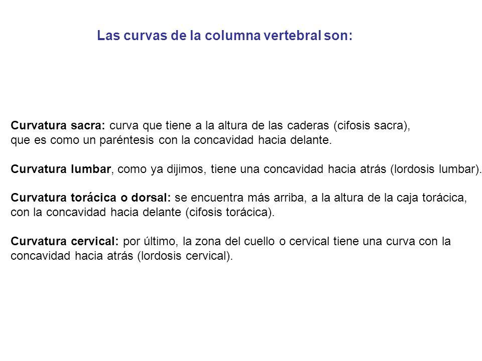 Curvatura sacra: curva que tiene a la altura de las caderas (cifosis sacra), que es como un paréntesis con la concavidad hacia delante.