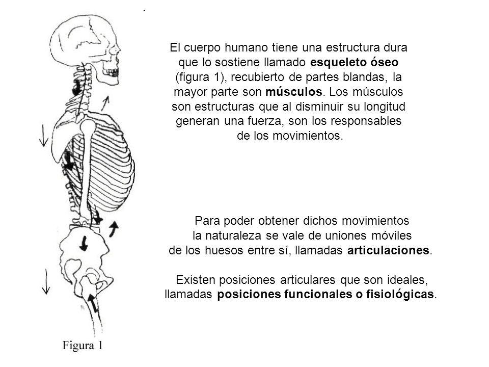 El cuerpo humano tiene una estructura dura que lo sostiene llamado esqueleto óseo (figura 1), recubierto de partes blandas, la mayor parte son músculos.