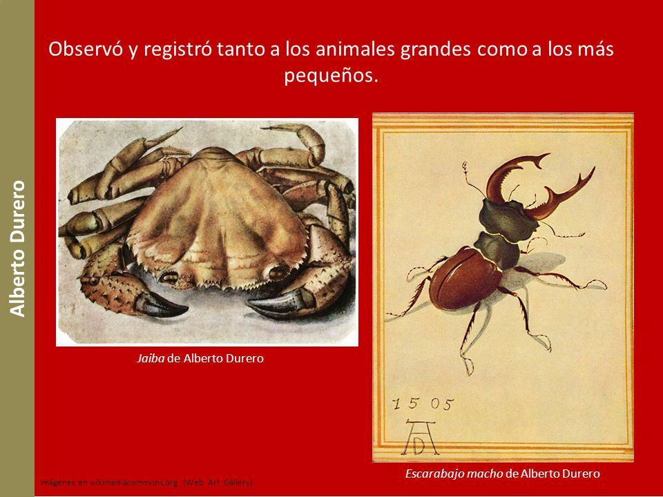 Observó y registró tanto a los animales grandes como a los más pequeños. Alberto Durero Jaiba de Alberto Durero Escarabajo macho de Alberto Durero Imá
