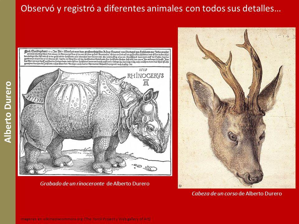 Grabado de un rinoceronte de Alberto Durero Cabeza de un corso de Alberto Durero Imágenes en wikimediacommons.org (The Yorck Project y Web gallery of
