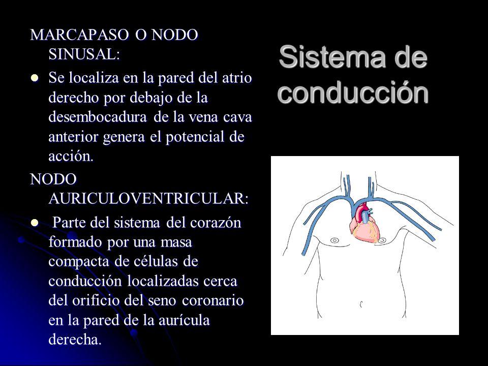 Sistema de conducción MARCAPASO O NODO SINUSAL: Se localiza en la pared del atrio derecho por debajo de la desembocadura de la vena cava anterior gene