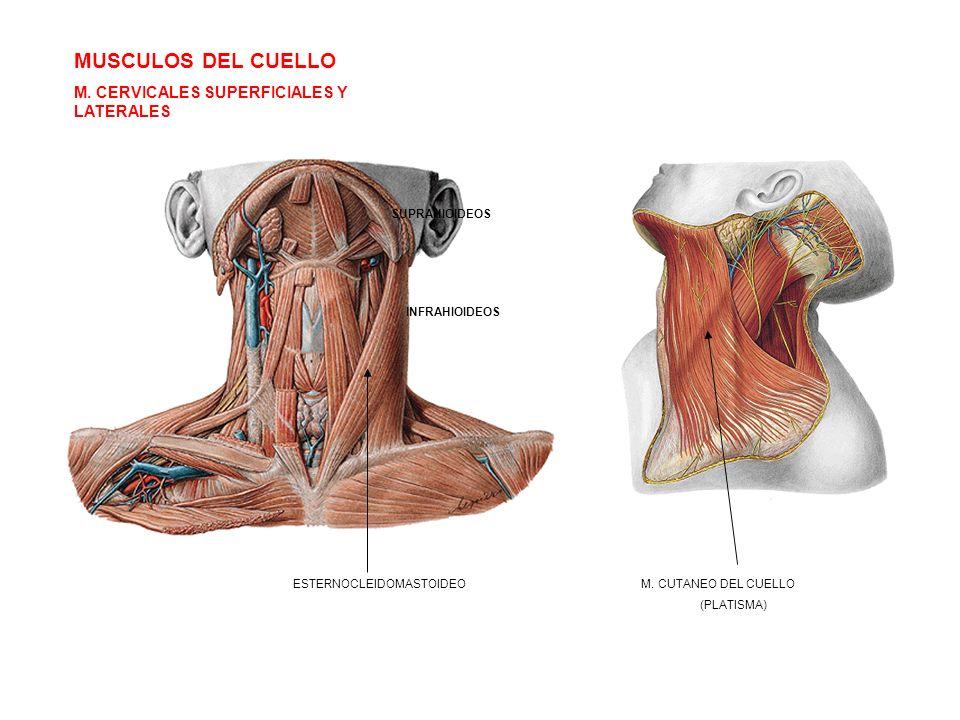 MUSCULOS DEL CUELLO M. CERVICALES SUPERFICIALES Y LATERALES ESTERNOCLEIDOMASTOIDEO SUPRAHIOIDEOS INFRAHIOIDEOS M. CUTANEO DEL CUELLO (PLATISMA)