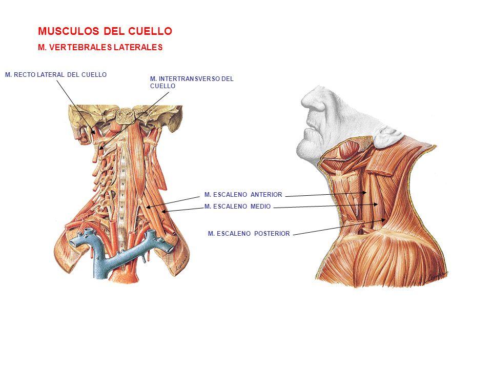 MUSCULOS DEL CUELLO M. VERTEBRALES LATERALES M. ESCALENO ANTERIOR M. ESCALENO MEDIO M. ESCALENO POSTERIOR M. INTERTRANSVERSO DEL CUELLO M. RECTO LATER