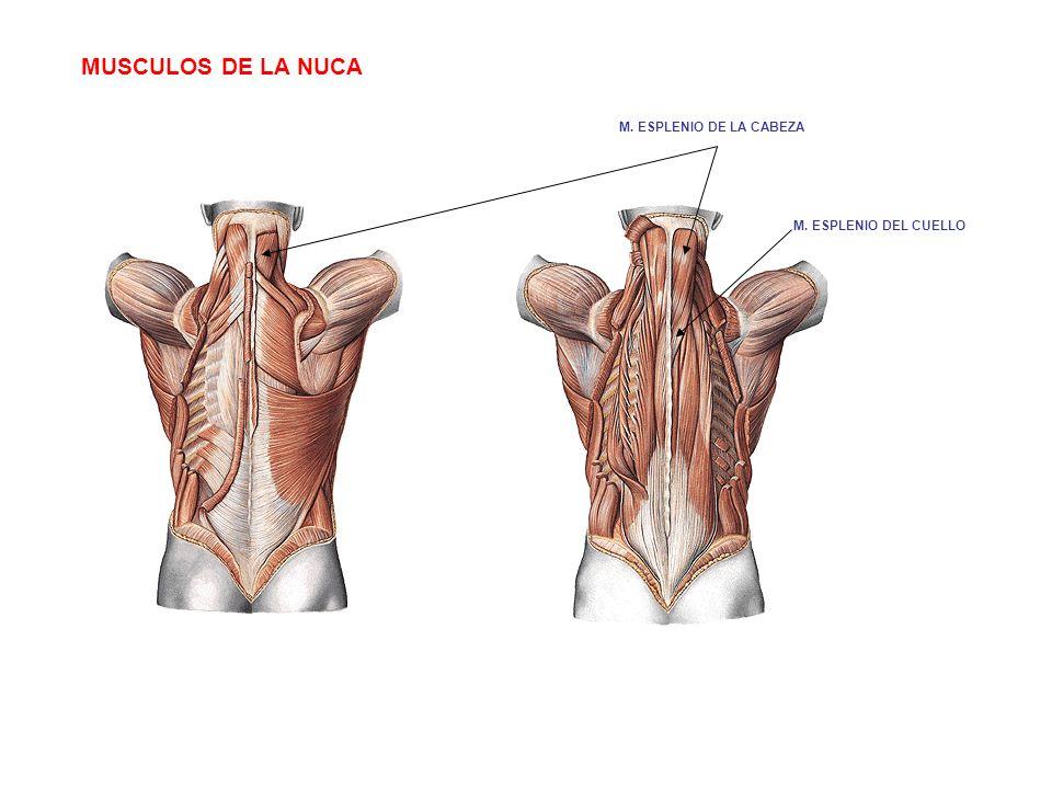 MUSCULOS DE LA NUCA M. ESPLENIO DEL CUELLO M. ESPLENIO DE LA CABEZA