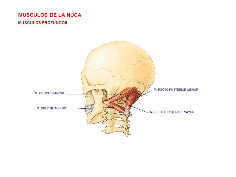 MUSCULOS DE LA NUCA MÚSCULOS PROFUNDOS M. RECTO POSTERIOR MENOR M. RECTO POSTERIOR MAYOR M. OBLICUO MENOR M. OBLICUO MAYOR