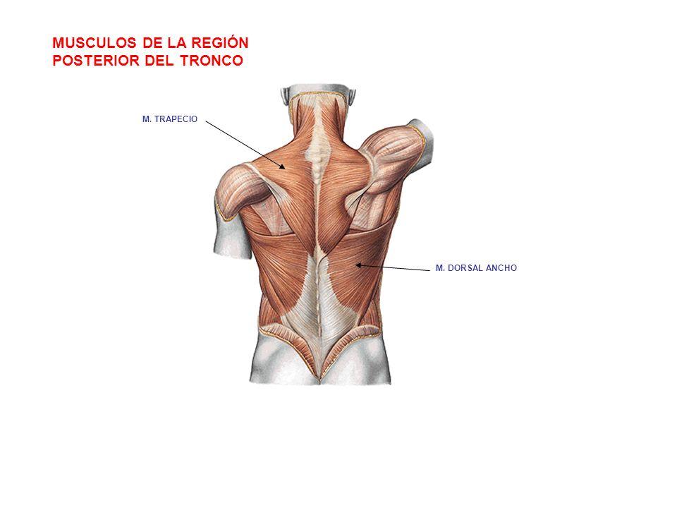 MUSCULOS DE LA REGIÓN POSTERIOR DEL TRONCO M. TRAPECIO M. DORSAL ANCHO