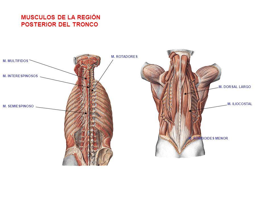 MUSCULOS DE LA REGIÓN POSTERIOR DEL TRONCO M. DORSAL LARGO M. ILIOCOSTAL M. ROMBOIDES MENOR M. INTERESPINOSOS M. SEMIESPINOSO M. ROTADORES M. MULTIFID