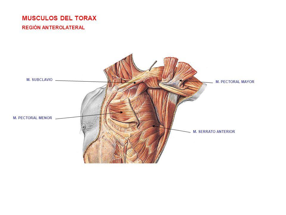 MUSCULOS DEL TORAX REGIÓN ANTEROLATERAL M. SERRATO ANTERIOR M. SUBCLAVIO M. PECTORAL MENOR M. PECTORAL MAYOR