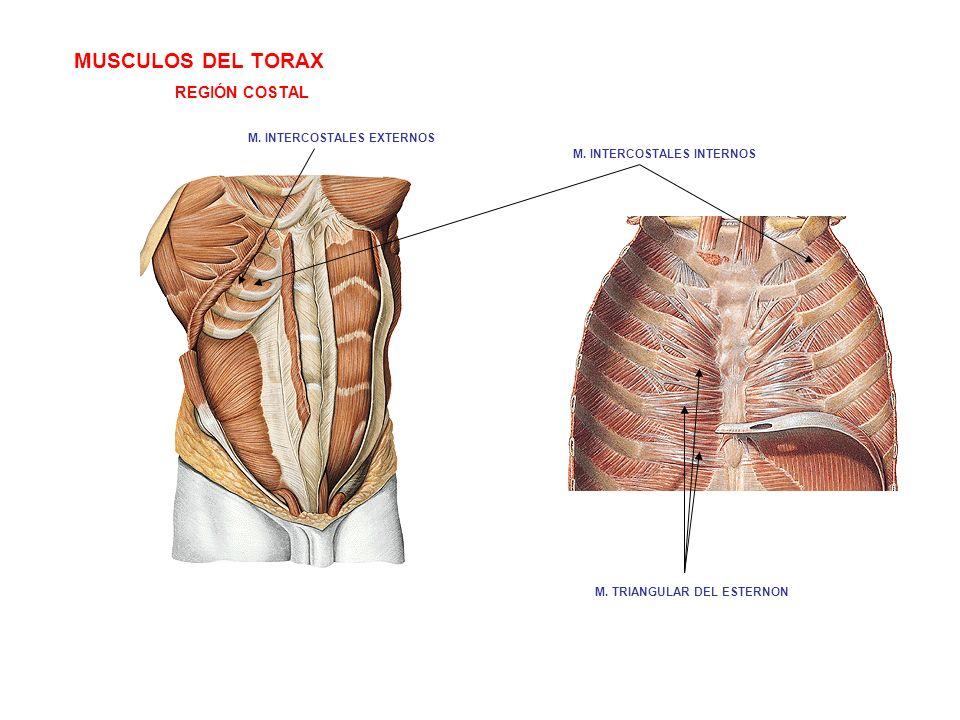 MUSCULOS DEL TORAX REGIÓN COSTAL M. TRIANGULAR DEL ESTERNON M. INTERCOSTALES INTERNOS M. INTERCOSTALES EXTERNOS