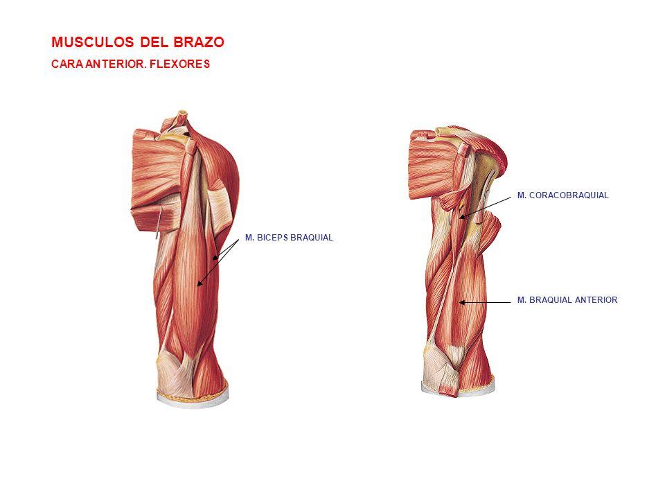 MUSCULOS DEL BRAZO CARA ANTERIOR. FLEXORES M. BRAQUIAL ANTERIOR M. CORACOBRAQUIAL M. BICEPS BRAQUIAL