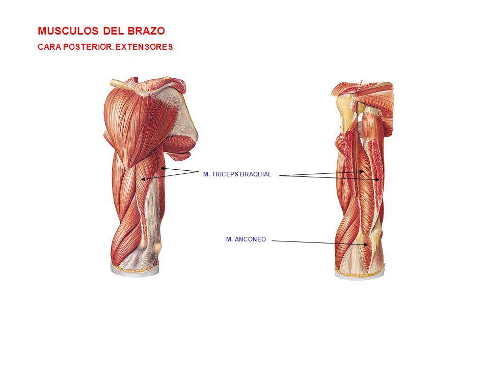 MUSCULOS DEL BRAZO CARA POSTERIOR. EXTENSORES M. TRICEPS BRAQUIAL M. ANCONEO