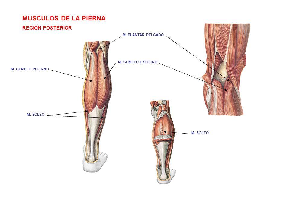 MUSCULOS DE LA PIERNA REGIÓN POSTERIOR M. GEMELO INTERNO M. GEMELO EXTERNO M. PLANTAR DELGADO M. SOLEO