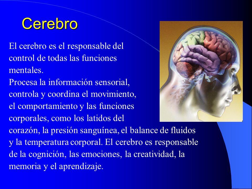 Cerebro El cerebro es el responsable del control de todas las funciones mentales. Procesa la información sensorial, controla y coordina el movimiento,