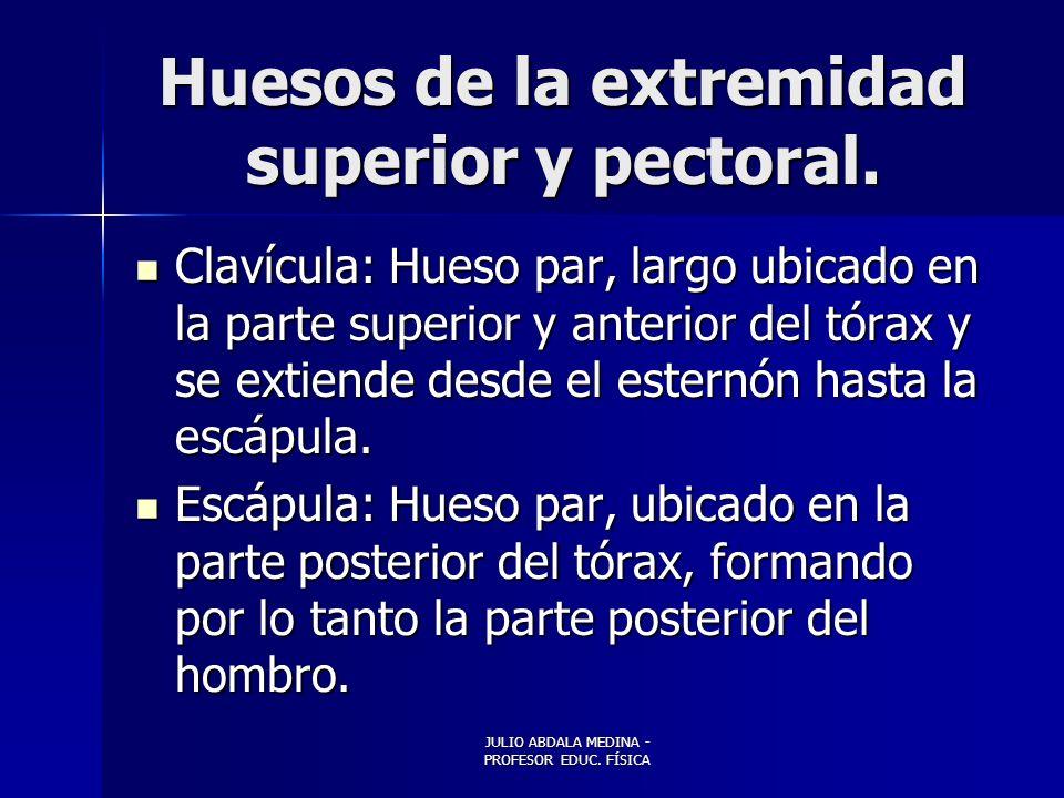 JULIO ABDALA MEDINA - PROFESOR EDUC.FÍSICA Huesos de la extremidad superior y pectoral.