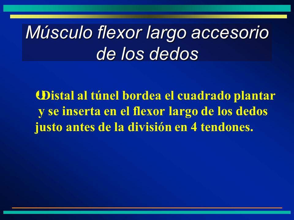 Músculo flexor largo accesorio de los dedos ÞDistal al túnel bordea el cuadrado plantar y se inserta en el flexor largo de los dedos justo antes de la
